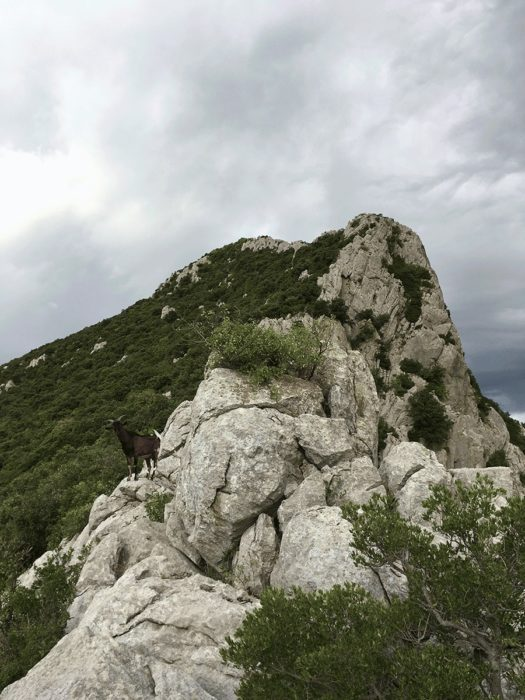 chèvres sur la crête du pic saint-loup