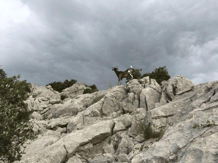 chèvre sur parcours du Pic Saint-Loup par la crête