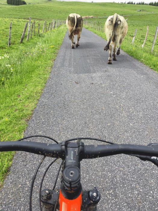 vache et VTT sur l'aubrac