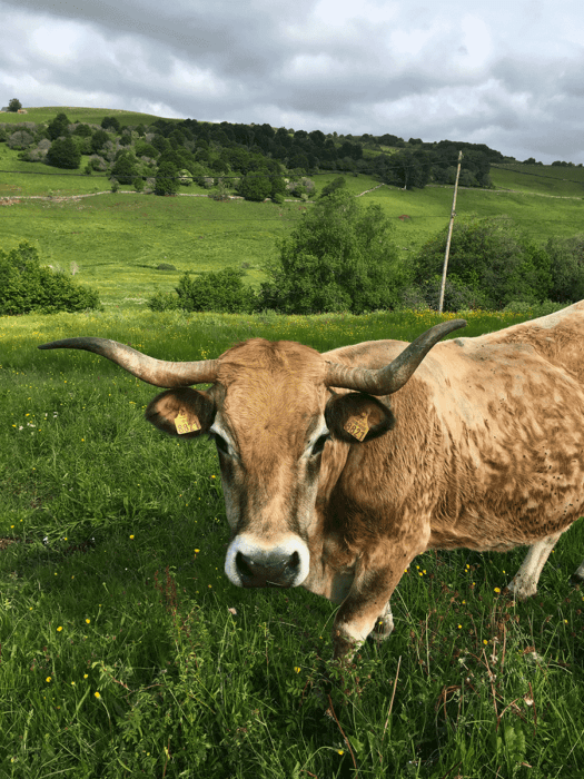 vache en sortie VTT sur l'Aubrac