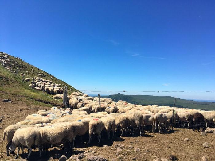 moutons et brebis sancy