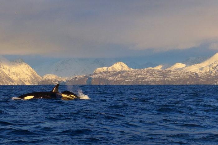 orque dans fjord en Norvège
