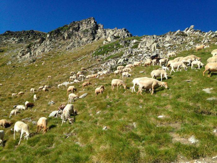 troupeau brebis lac néouvielle randonnée