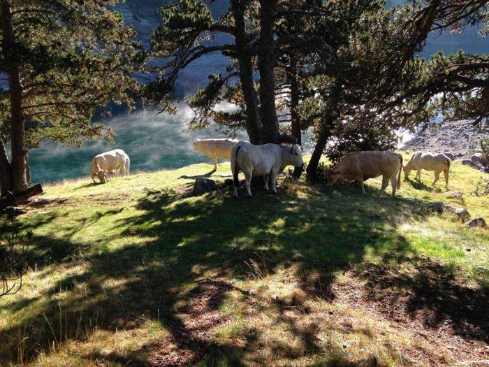 vaches lac néouvielle