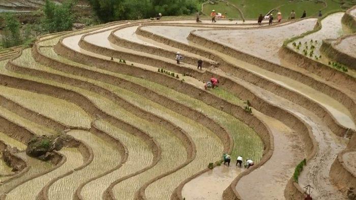 sapa repiquage riz